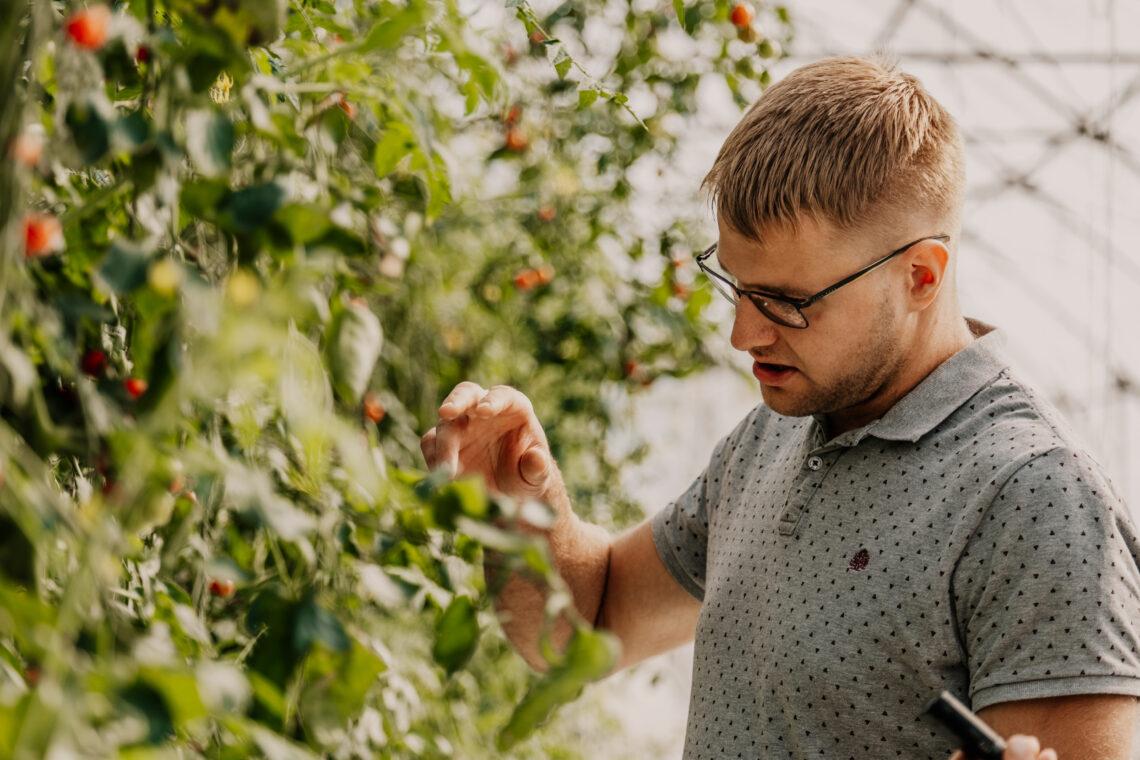 """Tomatisortidest kasvatab Jüri Laur tugevama koorega ja hästi transporditavat """"Amanetat"""", samuti Eesti sorti """"Vilja"""", mis on õhema koorega. Foto: Tarmo Pihelgas"""